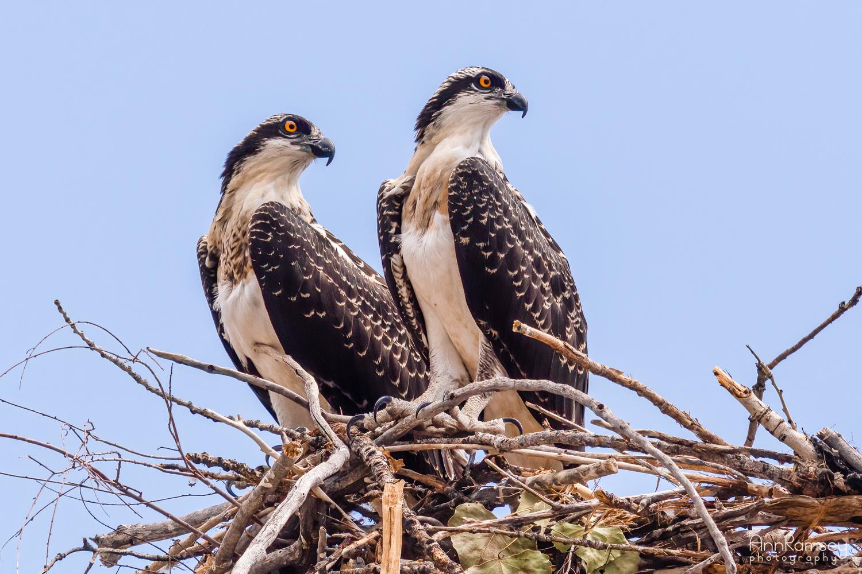 Osprey siblings